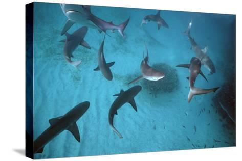 Galapagos Sharks Many Congregate in the Lagoon--Stretched Canvas Print