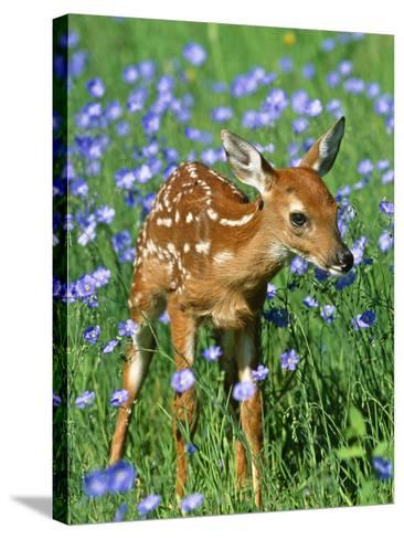 White-Tailed Deer Fawn--Stretched Canvas Print