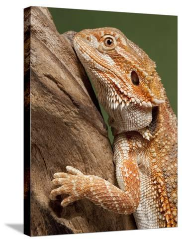 Yellow-Headed Bearded Dragon--Stretched Canvas Print
