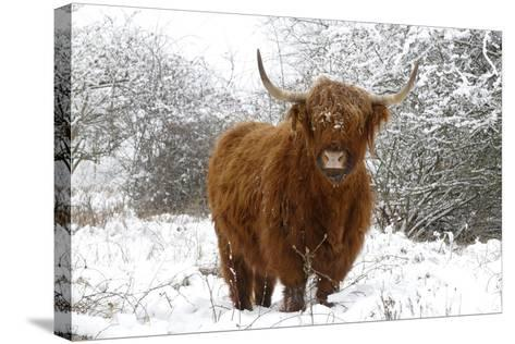 Scottish Highland Cow in the Snowy Foreland of River Ijssel--Stretched Canvas Print