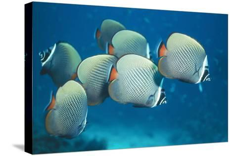 Collared Pakistan Butterfly Fish--Stretched Canvas Print