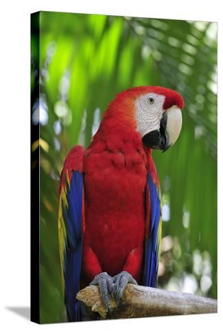 Scarlet Macaw--Stretched Canvas Print