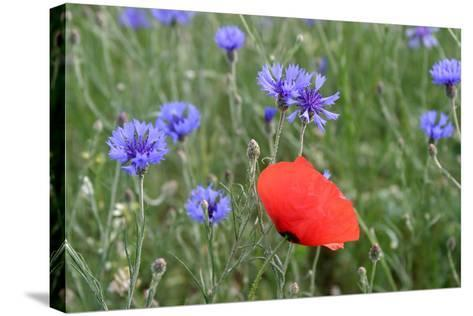 Red Poppy and Cornflowers--Stretched Canvas Print