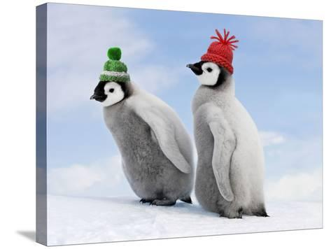 Emperor Penguin, Two Chicks with Woolly Hats--Stretched Canvas Print