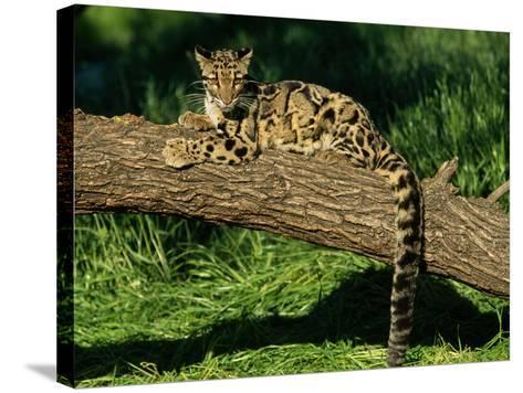 Clouded Leopard Resting on Log--Stretched Canvas Print