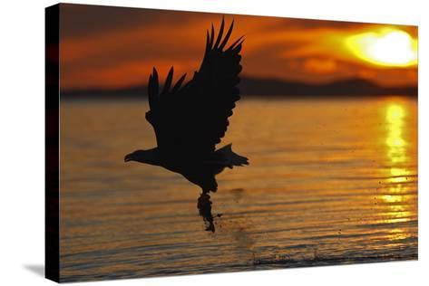 White-Tailed Eagle in Flight Above Water With--Stretched Canvas Print