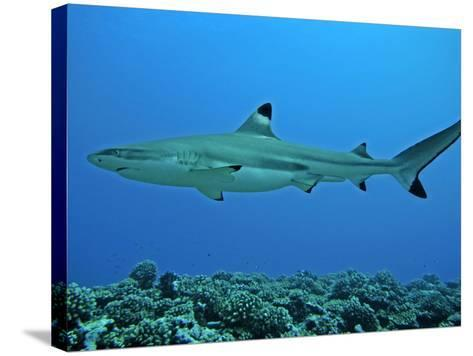 Blacktip Reef Shark Male Considered--Stretched Canvas Print