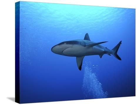 Grey Reef Shark Once Common Through Out the Indo--Stretched Canvas Print