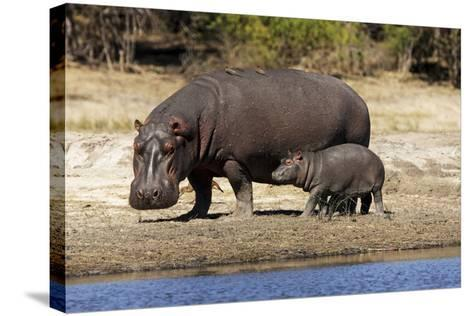 Hippo Mother with Young One--Stretched Canvas Print