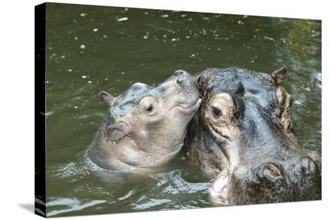 Hippopotamus Adult and Baby in Water--Stretched Canvas Print