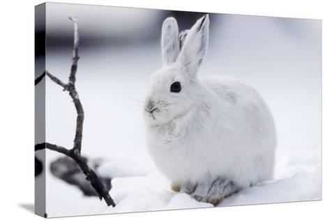 Snowshoe Hare in Snow--Stretched Canvas Print
