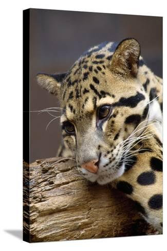 Clouded Leopard Close Up of Face--Stretched Canvas Print