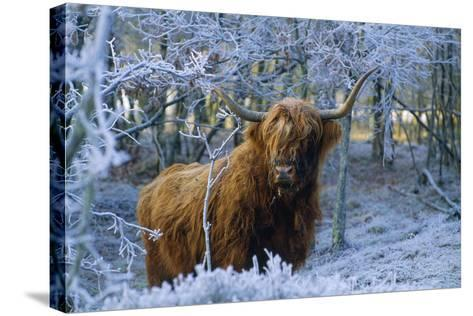 Scottish Highland Cow in Frost--Stretched Canvas Print