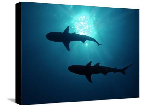 Grey Reef Sharks Grey Reef Sharks--Stretched Canvas Print
