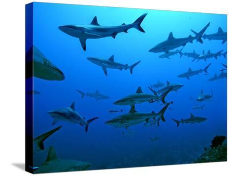 Grey Reef Sharks in the Tumotos, French Polynesia--Stretched Canvas Print