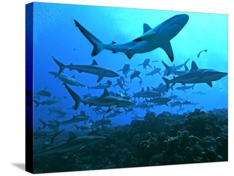 Grey Reef Sharks Swimming into the Fakarava Lagoon--Stretched Canvas Print
