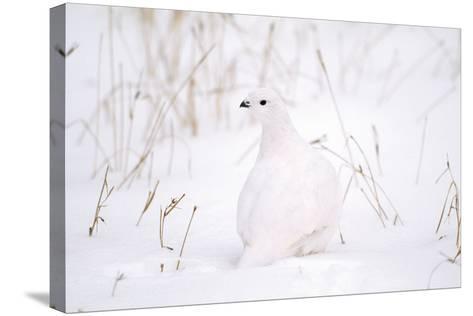 Rock Ptarmigan in Snow--Stretched Canvas Print