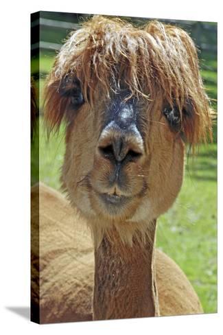 Alpaca--Stretched Canvas Print