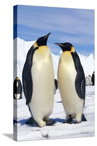 Emperor Penguins Pair--Stretched Canvas Print