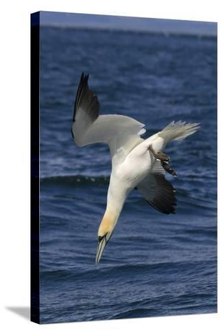 Northern Gannet Diving for Fish--Stretched Canvas Print