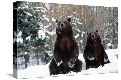 European Brown Bear Two Sitting in Snow--Stretched Canvas Print