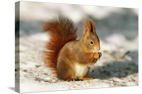 Red Squirrel--Stretched Canvas Print