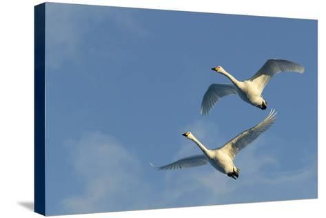 Whooper Swan Two in Flight--Stretched Canvas Print