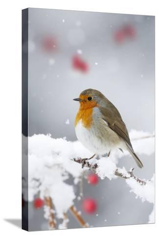 European Robin in Snow, Close-Up Showing Puffed--Stretched Canvas Print