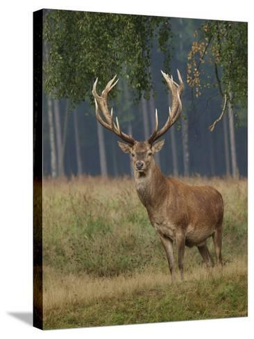 Red Deer Stag--Stretched Canvas Print