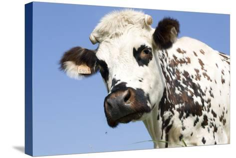 Close Up of Head Normande Tri-Coloured Cow--Stretched Canvas Print