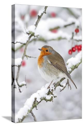 European Robin in Winter on Snowy Branch--Stretched Canvas Print