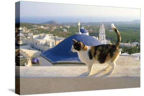 Cat,Tortoiseshell and White, Town in Background--Stretched Canvas Print
