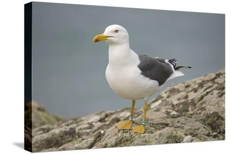 Great Black-Backed Gull--Stretched Canvas Print
