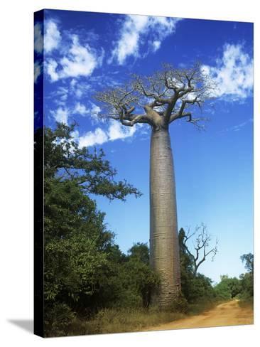 Baobab Tree--Stretched Canvas Print