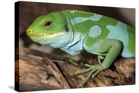 Fiji Banded Iguana Male--Stretched Canvas Print