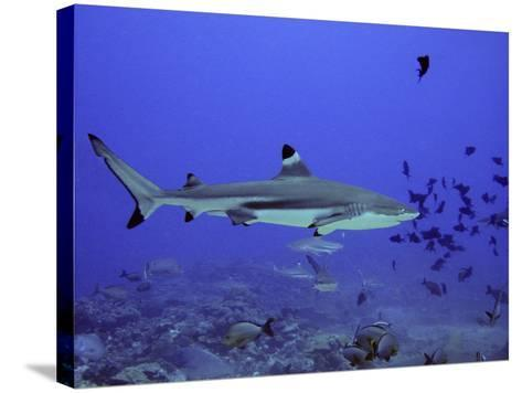 Blacktip Reef Shark Swimming Through Fish--Stretched Canvas Print