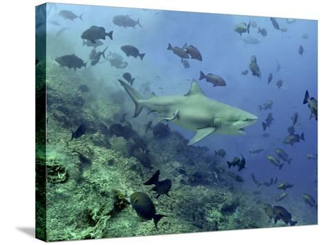 Bull Shark Swimming Through Fish--Stretched Canvas Print