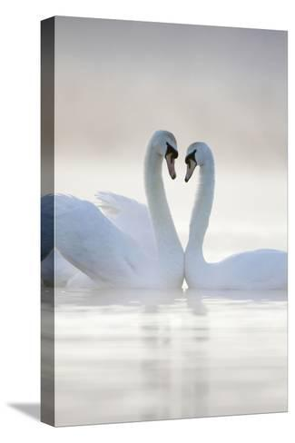 Mute Swans Pair in Courtship Behaviour Back-Lit--Stretched Canvas Print