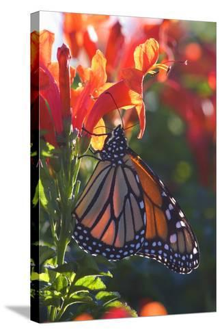 Monarch Butterfly Clings to a Red-Flowered Plant--Stretched Canvas Print