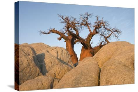 Boab in the Early Morning at the Isolated--Stretched Canvas Print