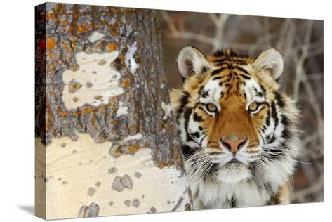 Amur Tiger in Winter Snow--Stretched Canvas Print