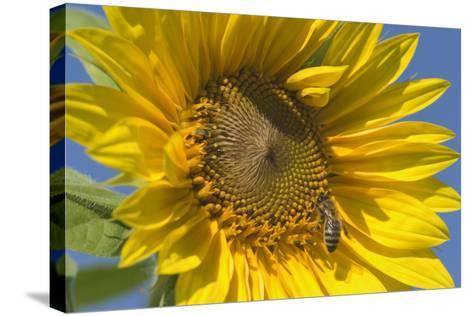 Sunflower a Honeybee (Apis Mellifera) Gathers--Stretched Canvas Print