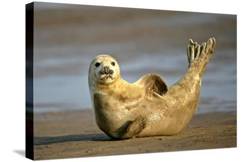 Grey Seal Resting on Beach Stretching it's Body--Stretched Canvas Print