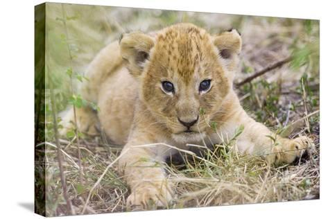 Lion 3-4 Week Old Cub--Stretched Canvas Print