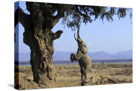 African Elephant Bull, on Hind Legs, Feeding--Stretched Canvas Print