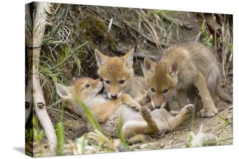 Coyote Young Wild Pups Playing Near their Den--Stretched Canvas Print