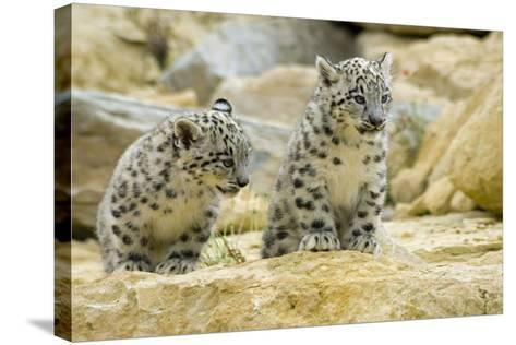 Snow Leopards Cubs--Stretched Canvas Print