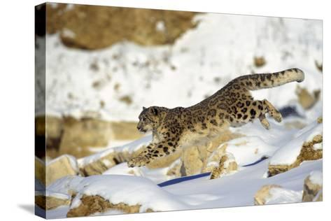 Snow Leopard Running Through Snow with Rocks Behind--Stretched Canvas Print