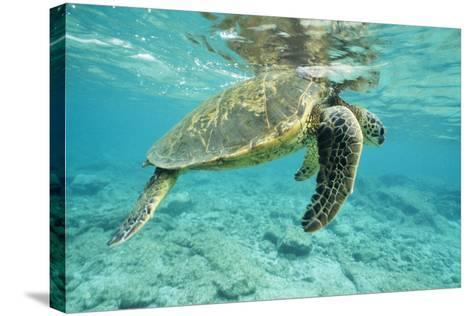 Green Sea Turtle at Water's Surface--Stretched Canvas Print