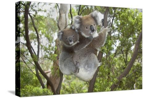 Koala Mother with Piggybacking Young Climbs Up--Stretched Canvas Print